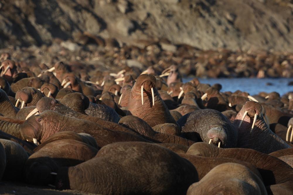 Тысячи моржей появились у берегов Аляски раньше, чем обычно.Вокруг Света. Украина