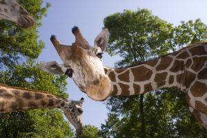 Жирафы исчезают с карты африканской фауны