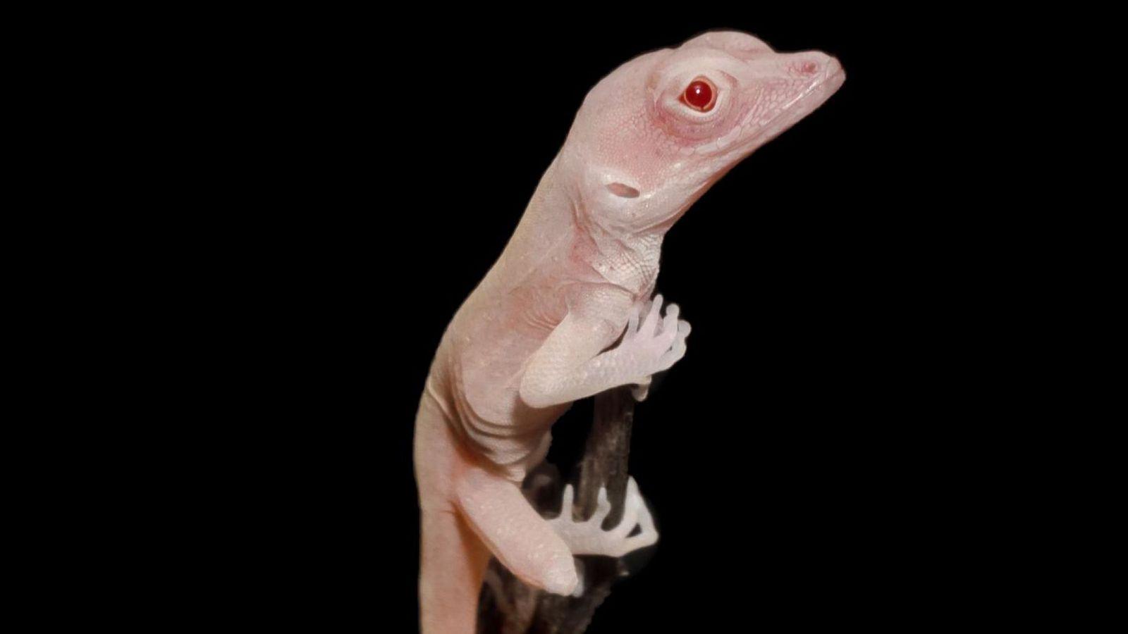 «Отредактированные» ящерицы стали альбиносами – эксперимент американских ученых.Вокруг Света. Украина