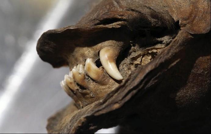 Ученые восстановили РНК волка, жившего 14000 лет назад