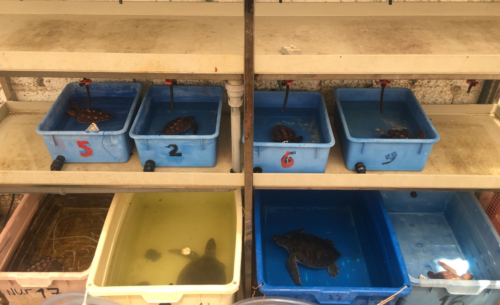 В Израиле исчезающих зеленых черепах разводят в инкубаторах