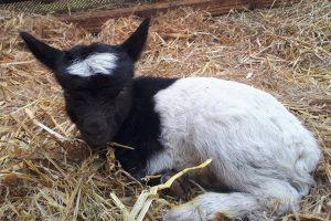 В валлийском колледже разводят коз редкой породы