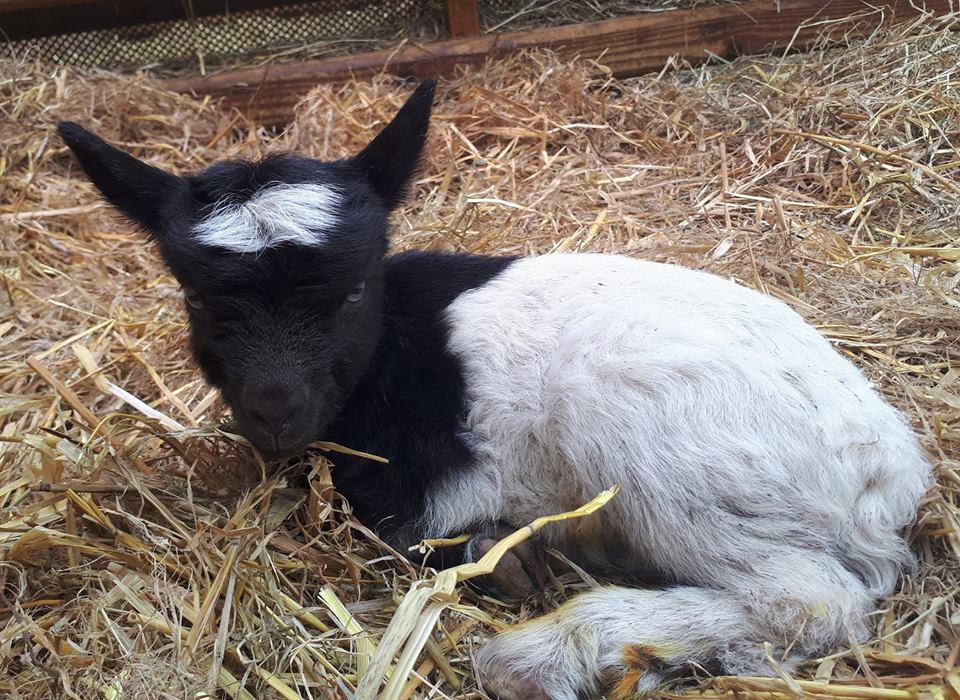 В валлийском колледже разводят коз редкой породы.Вокруг Света. Украина