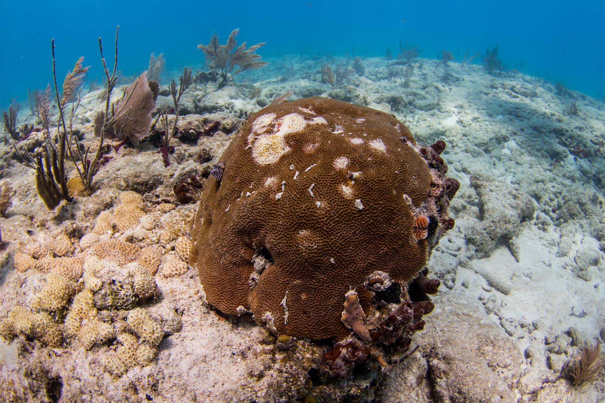 Экологи Флориды лечат кораллы от неизвестной болезни