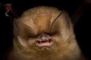 Летучим мышам сделали маникюр ради сохранения вида