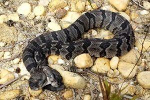 В Нью-Джерси найдена редкая двуглавая змея