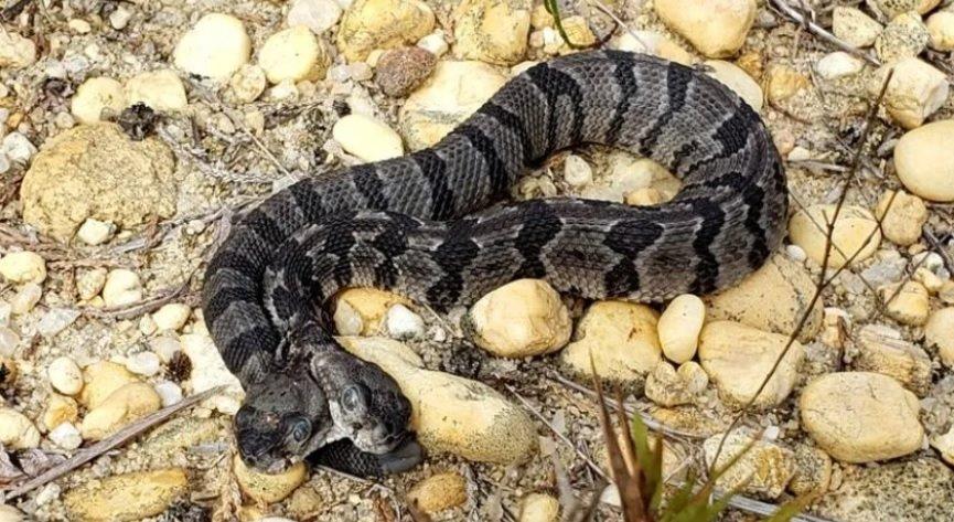 В Нью-Джерси найдена редкая двуглавая змея.Вокруг Света. Украина