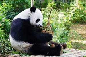 Китайские эксперты расследуют внезапную смерть панды в зоопарке Таиланда