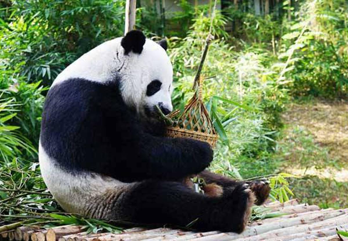 Китайские эксперты расследуют внезапную смерть панды в зоопарке Таиланда.Вокруг Света. Украина