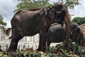 На Шри-Ланке умерла от истощения слониха, на которой катались туристы