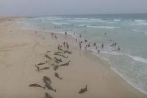 В Кабо-Верде на берег выбросились более 200 дельфинов