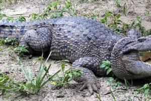 В Новой Гвинее обнаружили новый вид крокодила