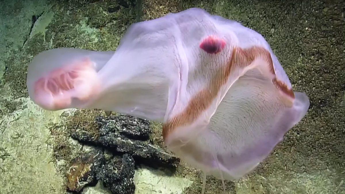 В Тихом океане обнаружили редчайшую медузу, постоянно меняющую форму