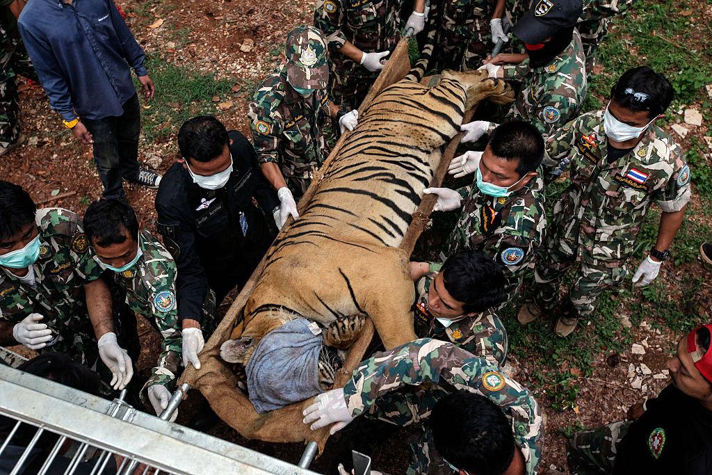 Половина тигров, конфискованых из таиландского храма, погибла