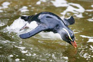 Крошечный пингвин проплыл 2500 км из Новой Зеландии в Австралию