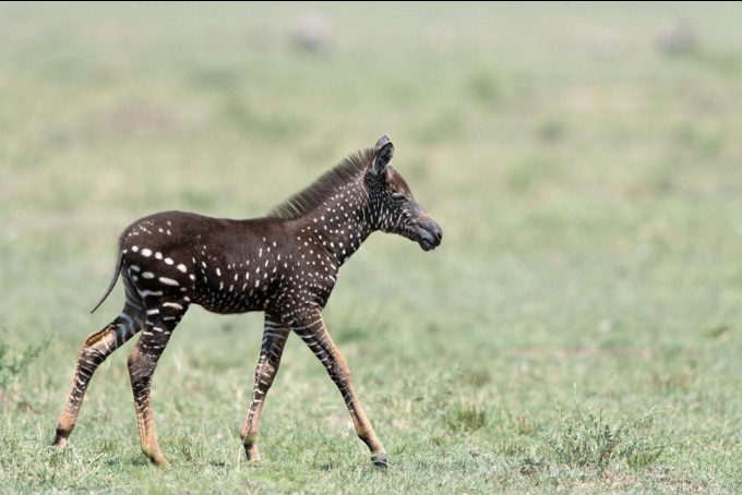 В Африке обнаружили зебру в горошек