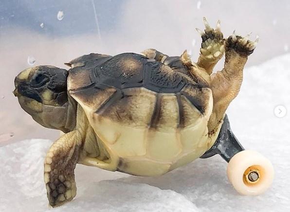 В США черепахе с врожденными пороками подарили колеса