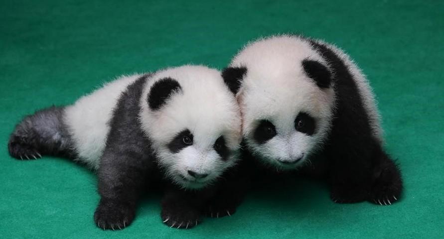В Китае из детенышей панд сделали поздравительную открытку