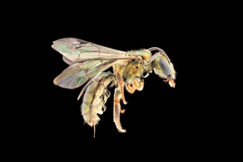 На Фиджи обнаружили новый вид пчел - ему уже угрожает исчезновение