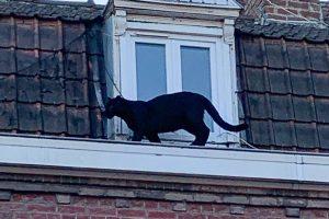 Во Франции из зоопарка выкрали черную пантеру, ранее пойманную на городской крыше