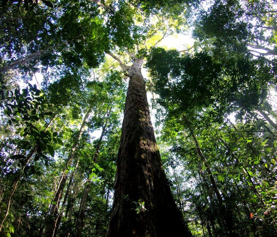 Исследователи нашли самое высокое дерево Амазонии
