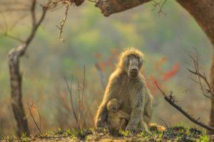 Трудное детство бабуинов отразилось на их детях