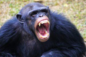 Шимпанзе в бегах нагоняет страх на людей и животных