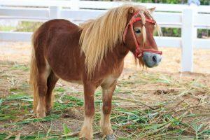 Американка взяла в самолет миниатюрную лошадь