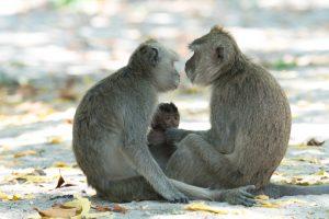 Лингвисты расшифровали язык обезьян