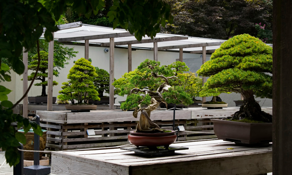 В дендрарии Вашингтона показывают 400-летний бонсай, который пережил Хиросиму