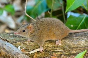 Самцы сумчатой мыши умирают от истощения сразу после спаривания