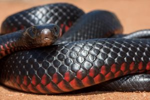 Австралиец поймал гигантскую краснобрюхую змею