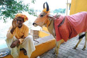 В Индии собирают деньги на вентиляторы для диких коров