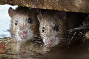 Крысам нравится играть с людьми в прятки - ученые
