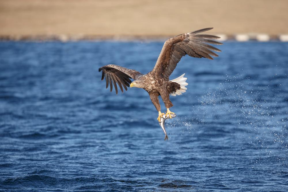 Шесть орланов поселились в Англии - впервые за 250 лет