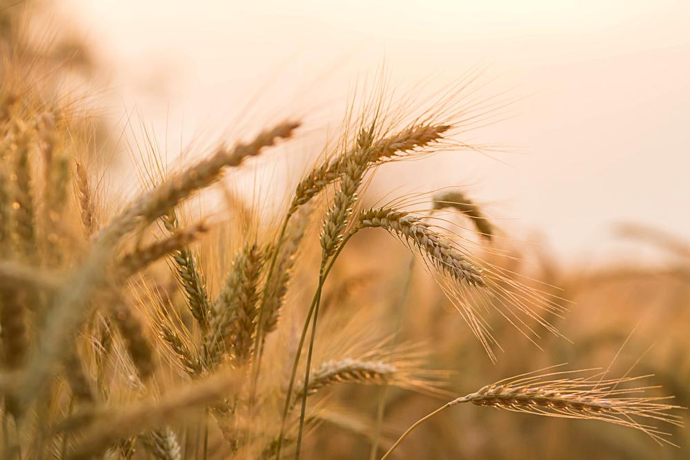 Ученые нашли в ячмене ген устойчивости к засухе