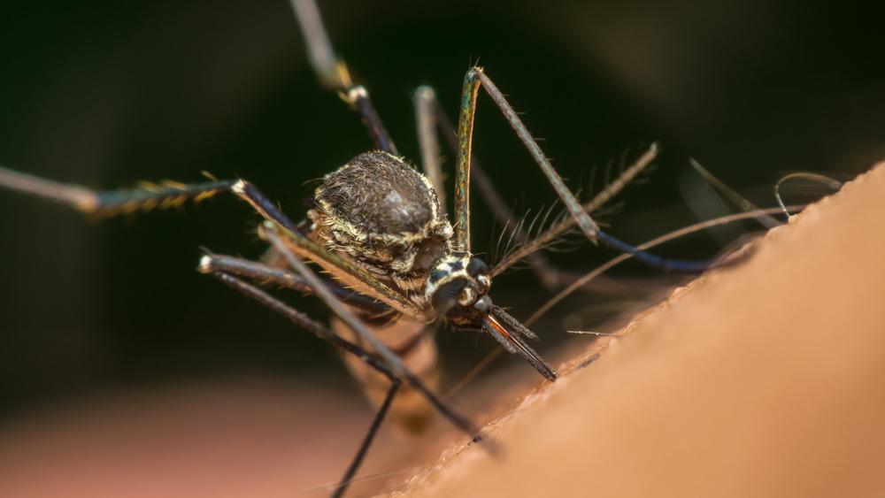 В Бразилии провалился эксперимент с ГМ-комарами