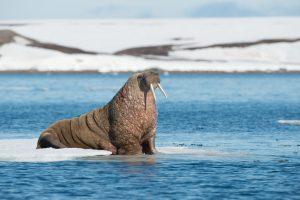 Морж потопил российский катер в Баренцевом море