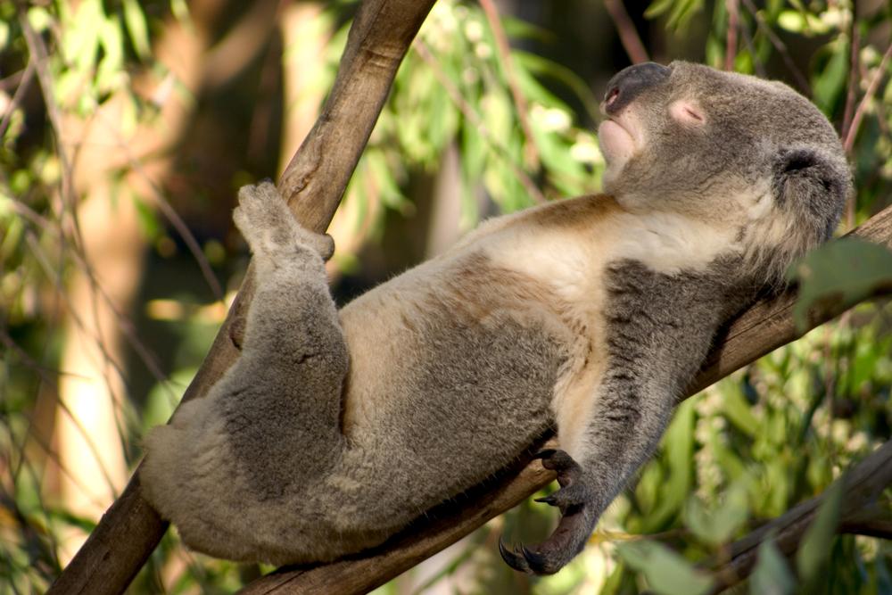 В Сиднее предлагают провести ночь среди коал
