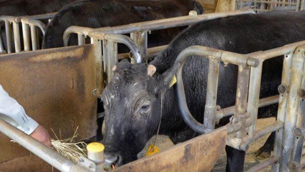 В Японии умерла первая в мире клонированная корова.Вокруг Света. Украина