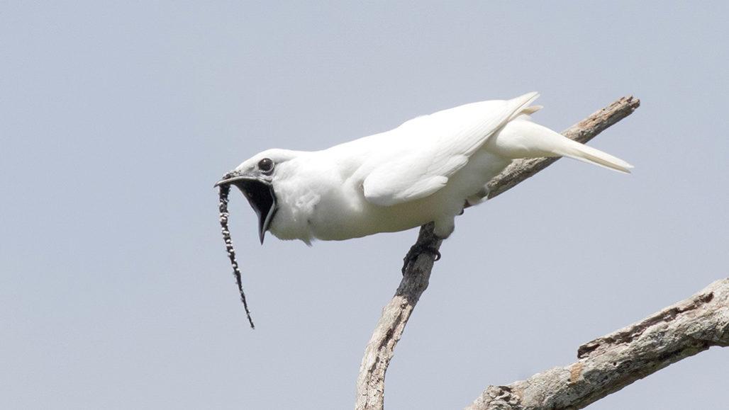 Брачный призыв амазонской птички громче, чем рев взлетающего самолета