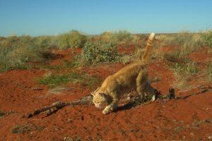 В Австралии кошка съела кенгуру
