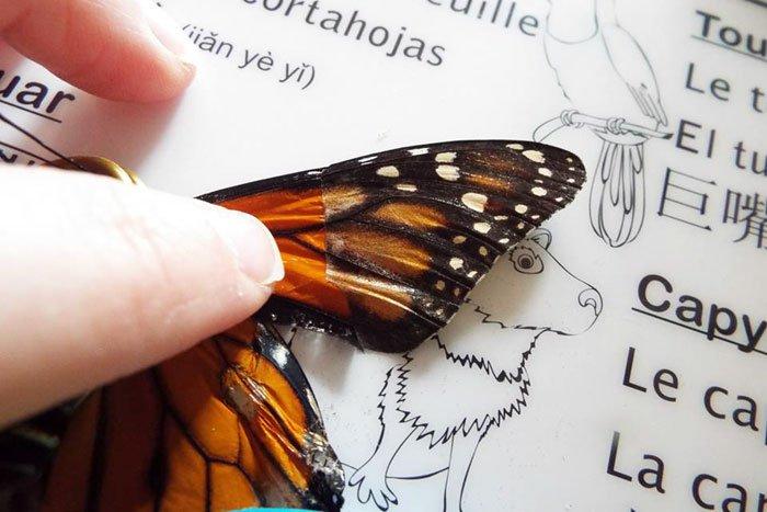 В США бабочке пересадили крыло