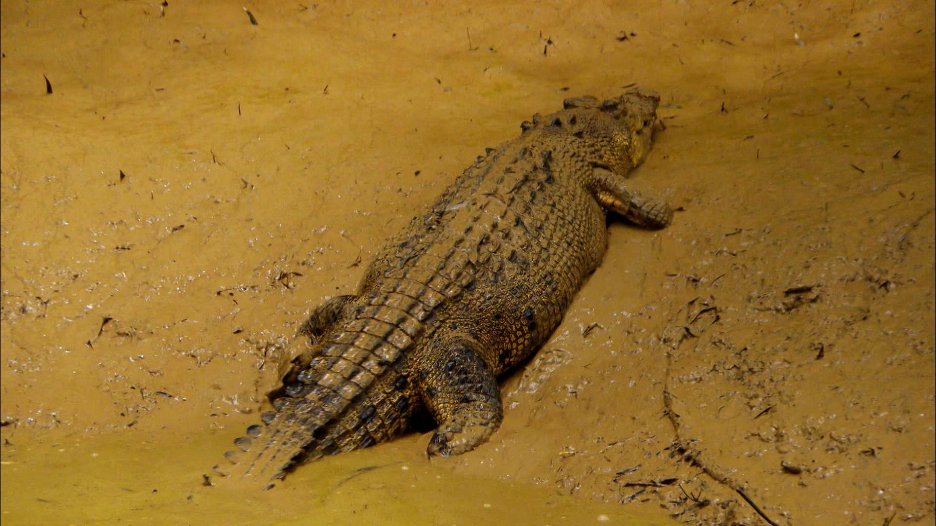 Ядовитые змеи австралии