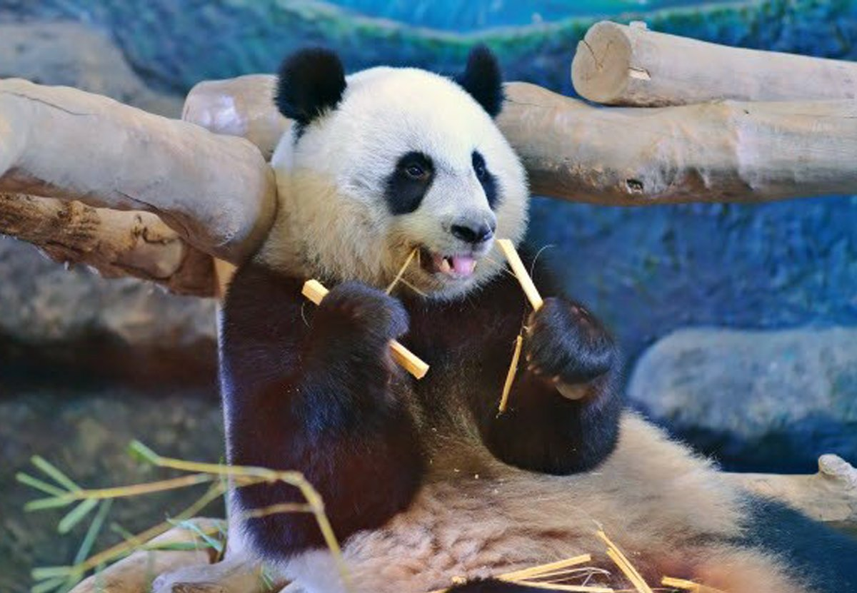В тайском зоопарке разгадали тайну внезапной смерти панды.Вокруг Света. Украина