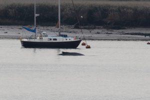 В Темзу заплыл 10-метровый горбатый кит