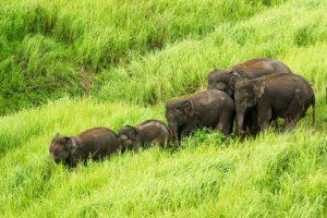 В Таиланде, спасая друг друга, погибли шесть слонов