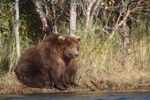 На Аляске выбирают самого толстого медведя