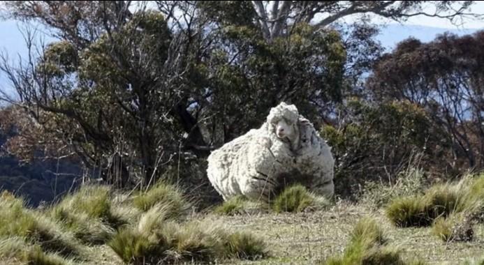 В Австралии умерла самая лохматая овца в мире