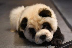Владелец кафе в Китае превратил собак в панд